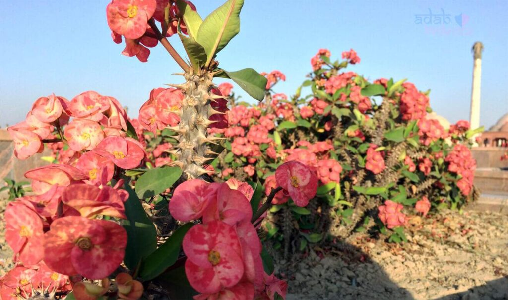 Crown Of Thorns Plant in Ambedkar memorial park lucknow